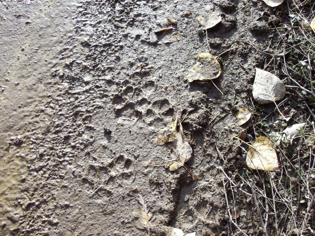 Click image for larger version.  Name:Cougar Tracks in Mud.jpg Views:26 Size:360.7 KB ID:2111954
